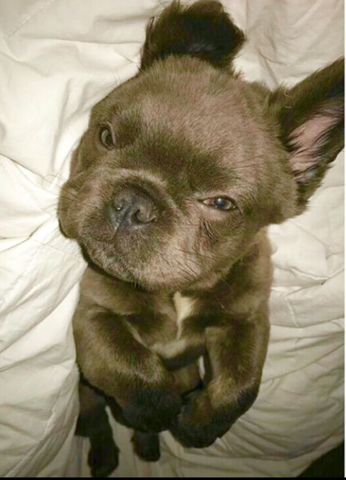 ❤ Long Haired French Bulldog Puppy, (he's Long Haired because of a recessive Corgie Gene; Frenchies were originally bred from mixing English Bulldogs, Chinese Pugs, and Corgis.)