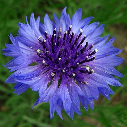 blue flowers names and pictures | Purple Blue Flower ...
