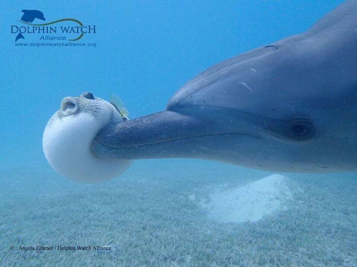 フグがイルカに「ぐえ!」ってされてる画像…見てる分には可愛いが実はそこにイルカの闇があった - Togetterまとめ