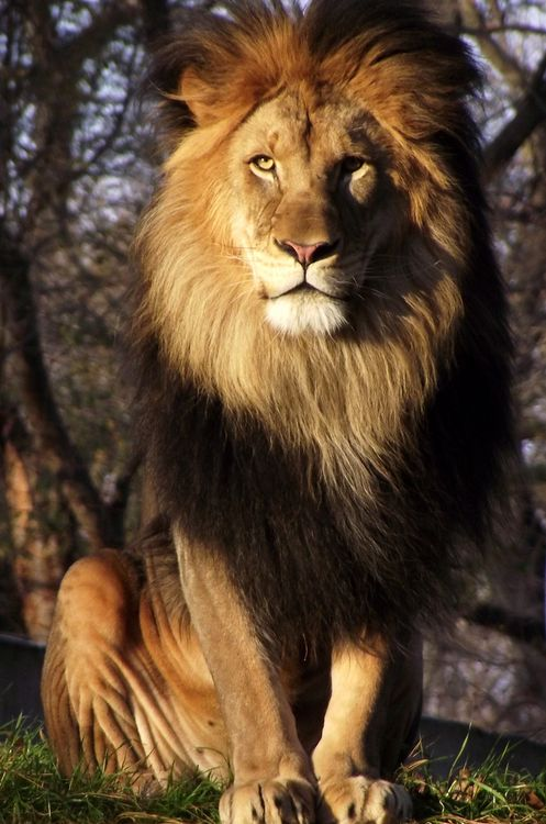 Superb Photograph of The King of Beast the Lion.