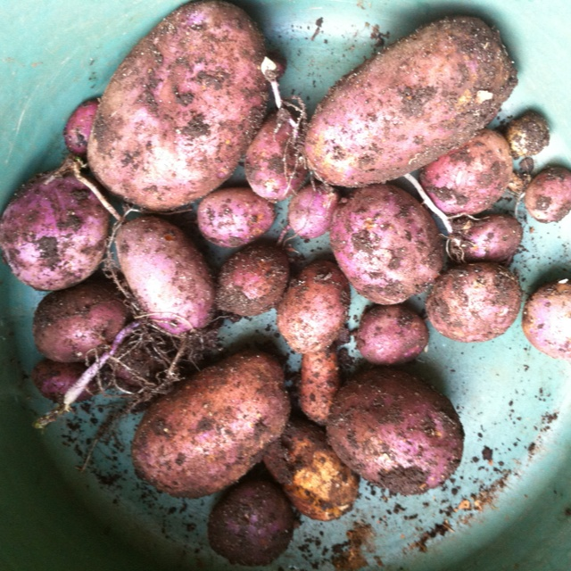 Homegrown purple potatoes Early winter, Melbourne