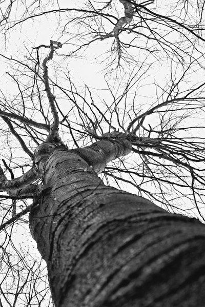 bwstock.photography - photo | free download black and white photos  //  #tree