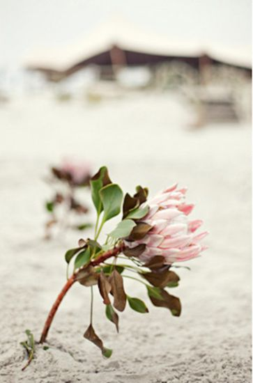 Beach Wedding Decor Inspiration: proteas in the sand along the walkway/aisle