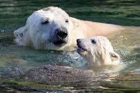 #Polar #Bear & #Cub ... learning life lessons .... swimming ...