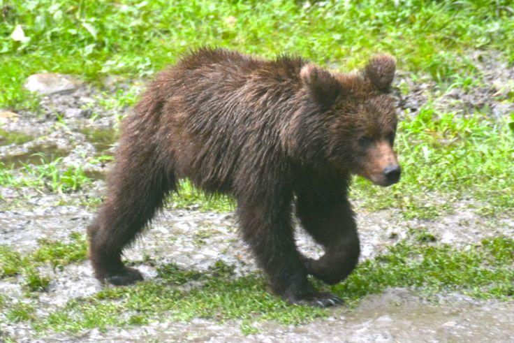 Brown bear, two-year cub, Carpathian Mountains, Romania. #BrownBear #BrunBjørn #Carpathians #Romania #AlbatrosTravel #EuropeanWildlife #HenryRasmussen