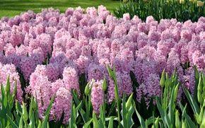 Обои цветы, гиацинты, Нидерланды, Keukenhof Gardens, сад, розовые