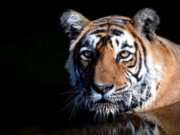 July 29 is International Tiger Day; here are five places in India where you can spot the big cat. India's national animal is also an endangered one. The good news, of course, is that the number of tigers is on the increase. India is home to most of the tiger population and with concerted efforts by the government as well as some great work by the NGOs, the numbers have gone up considerably. Just ten years ago, in 2006, the tiger population in India was just 1,411. Cut to 2014 when the…