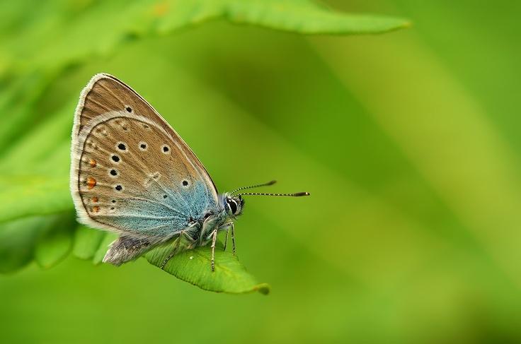 PENTAX Photo Gallery : Polyommatus icarus... - by Ogun Caglayan Turkay