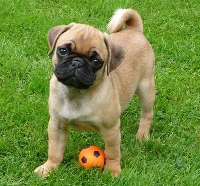 Cute Apricot Pug Puppy