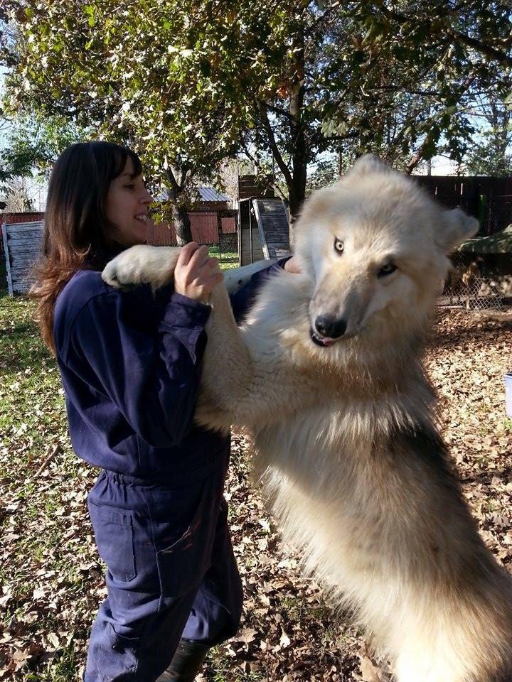 Tanka, un gran lobo ártico