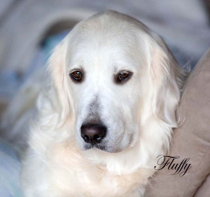 White Golden Retriever Puppies For Sale In Mn 2021