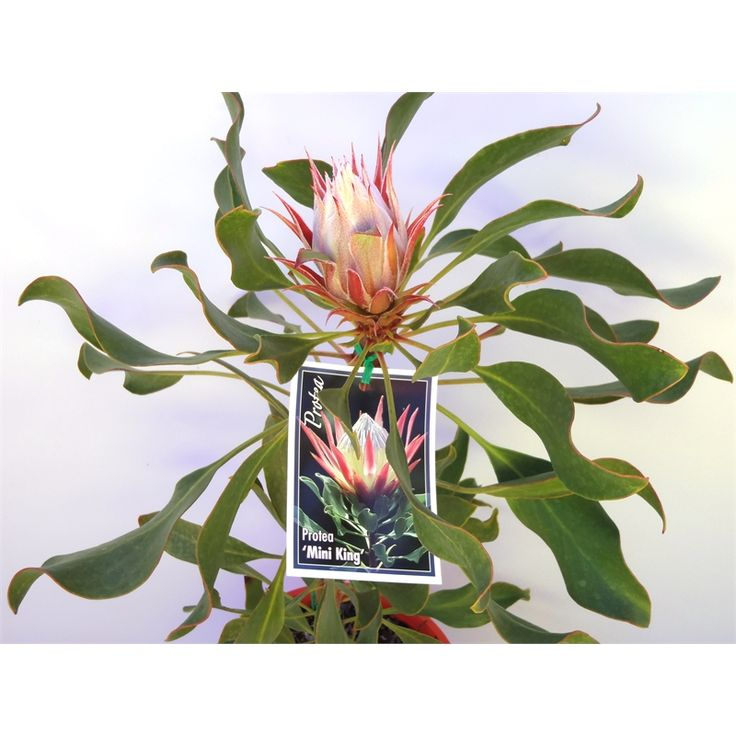 200mm Protea Cynaroides Mini King