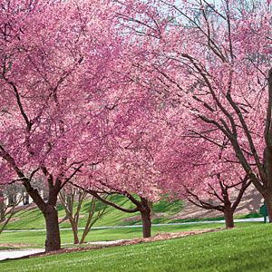 Grow Your Own Cherry Blossoms | The Right Tree | SouthernLiving.com