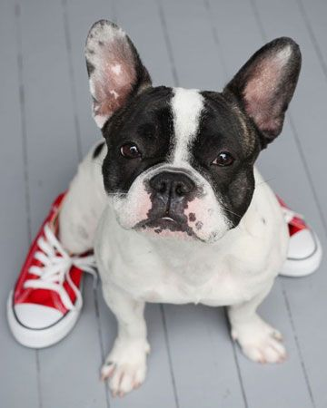 Fashionable frenchy: Animals, French Bulldogs, Pet, Frenchbulldogs, Funny, Red Converse, Puppy, Boston Terriers