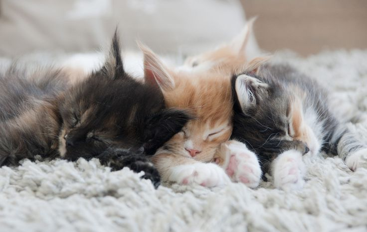 Maine Coon, kitten cuteness overload. 3 kittens from Game of Thrones litter off Cattery Shivers. They melt my heart <3
