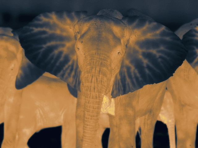 This magnificent photo of a Gorongosa elephant was taken at night using thermal camera. Notice how much cooler the ears are - that's one of the ways elephants keep themselves cool.  Photo by Charles McGonagall, via Flickr