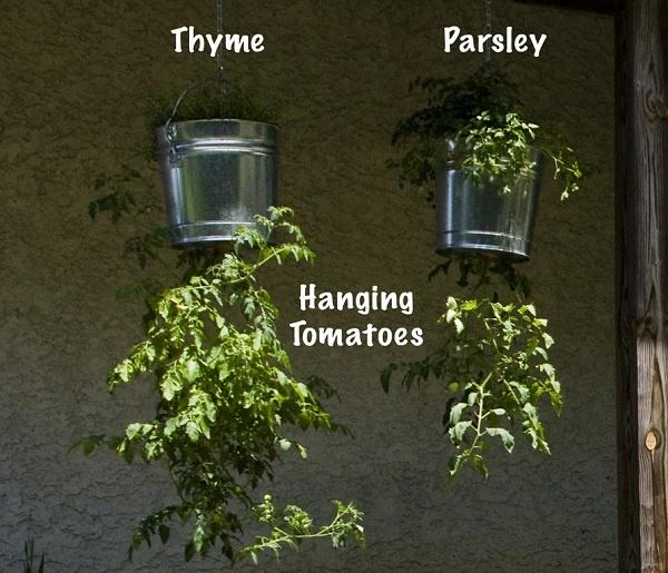 Las 25 mejores ideas sobre cultivar tomates en pinterest - Tomates cherry en maceta ...
