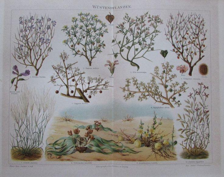 1897 WÜSTENPFLANZEN Original Farbdruck Antique Print Lithographie