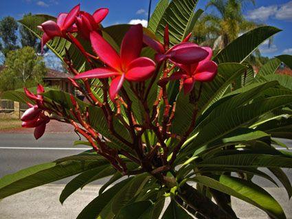 Softer colour red Frangipanii