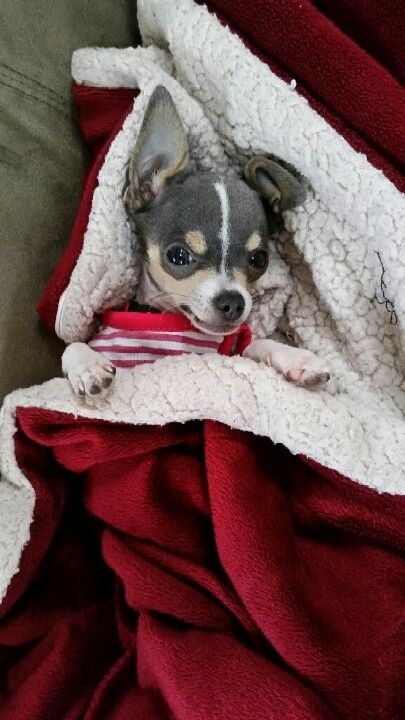 Chi relaxes and waits to catch Santa coming down the chimney! #dogs #pets #Chihuahuas facebook.com/sodoggonefunny