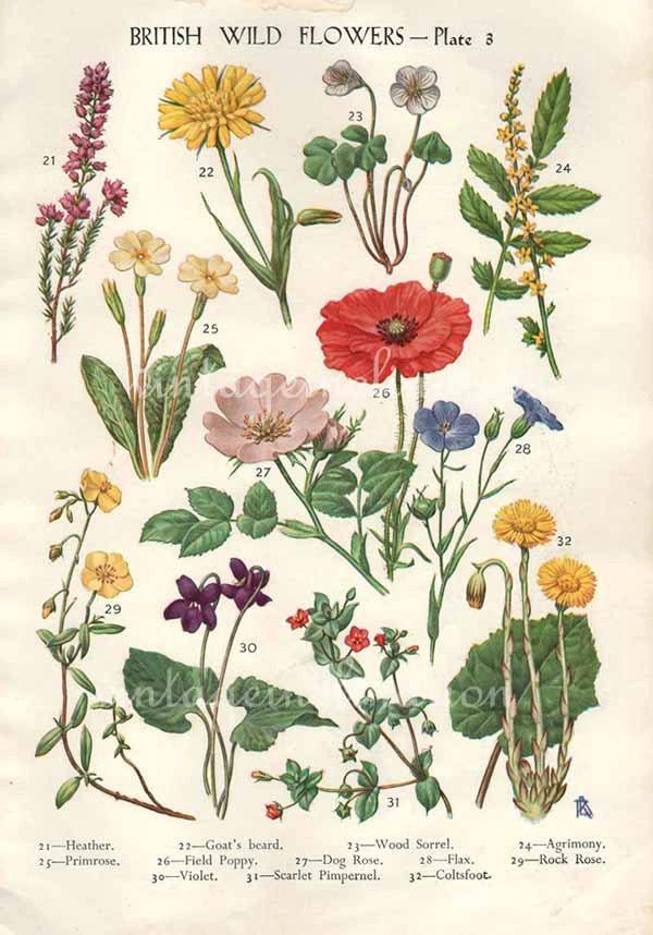 Antique Botanical print British Wild Flowers by VintageInclination