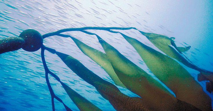 Quais plantas vivem no oceano Atlântico?. No oceano Atlântico há milhões de animais e plantas. A maioria vive próximo da superfície iluminada pelo sol, mas uma variedade de animais e plantas que vivem em águas profundas também podem ser encontrados. Essas plantas podem ter raízes que se anexam ao fundo do oceano ou serem plantas de livre flutuação e deriva nas águas.