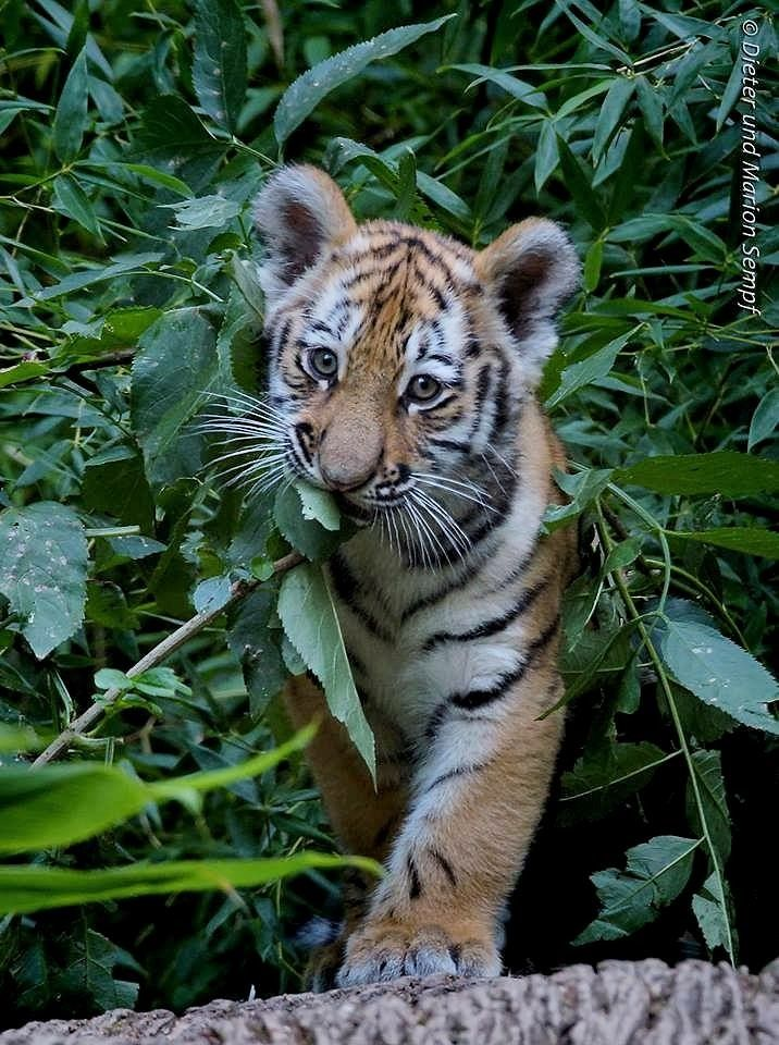 Tiger cubs mature quickly. At 8 weeks old, they are ready to learn how to  hunt and go out on hunting expeditions with their mother.