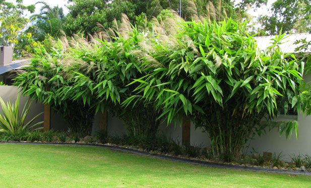 Bamboo Down Under  » Tiger Grass - Bamboo Down Under