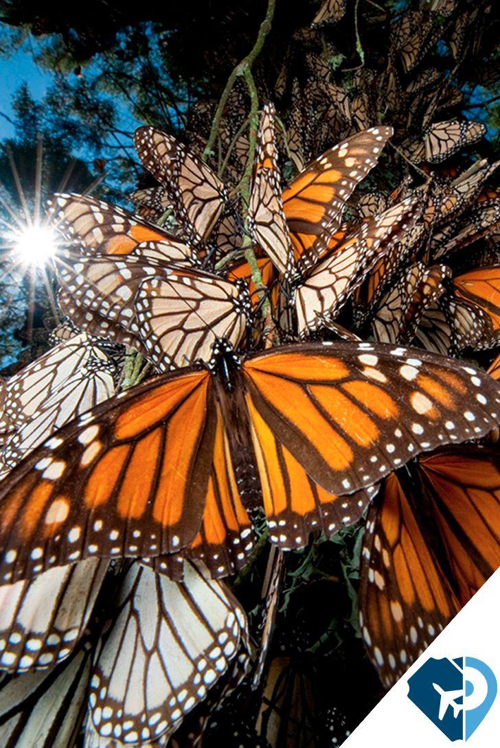 La Reserva de la Biosfera Mariposa Monarca se localiza al oriente del estado de Michoacán en los límites con el poniente del estado de México; abarca los municipios de Temascalcingo, San Felipe del Progreso, Donato Guerra y Villa de Allende en el estado de México, y Contepec, Senguío, Angangueo, Ocampo, Zitácuaro, y Aporo en el estado de Michoacán.