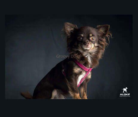 Aloké-Laklederen-Harnas-Kleine-honden