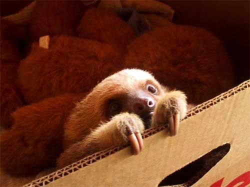 I promise not to start a baby animal blog, but if I did I'd start with a baby sloth.