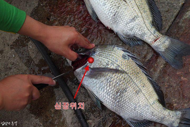 생선 손질법(1) - 횟감용 생선 피빼는 법