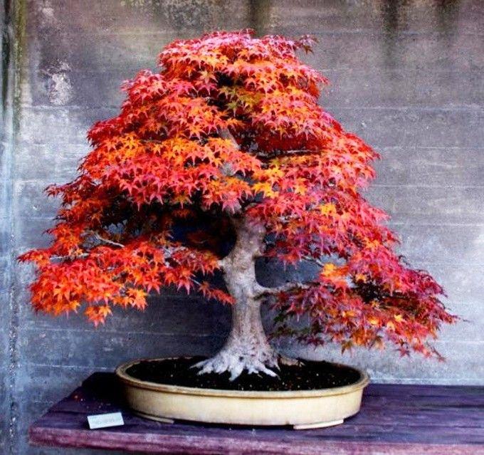 BONSAI TREE FOR BEGINNERS