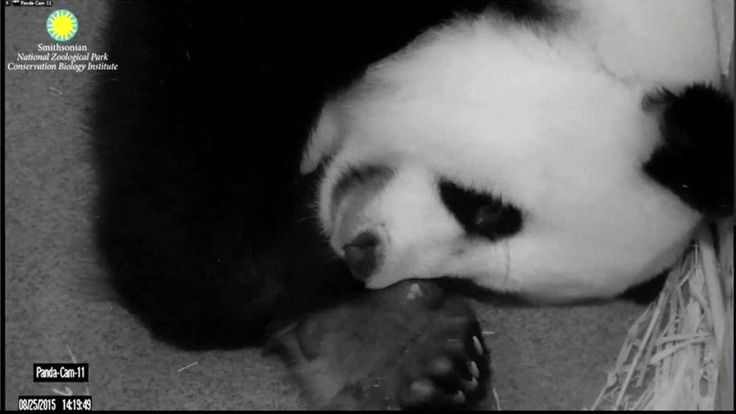 Giant panda Mei Xiang is focusing her care on the larger of her newborn twins, worrying zookeepers at Washington's National Zoo. Vanessa Johnston reports.