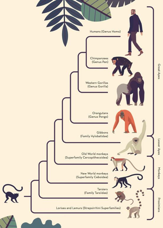 Scientific Illustration   theolduvaigorge:  Mad About Monkeys: A Loving...