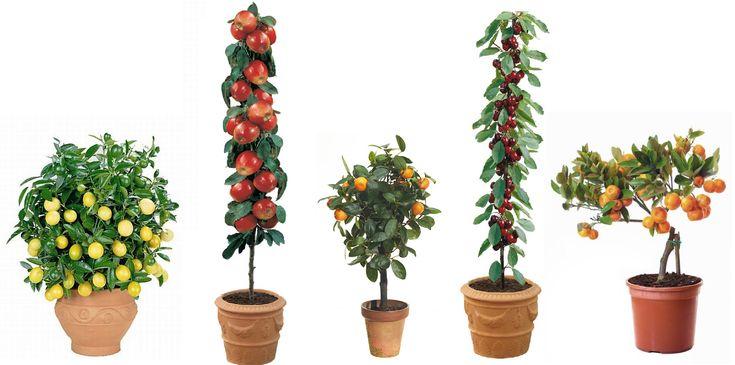 arboles frutales enanos