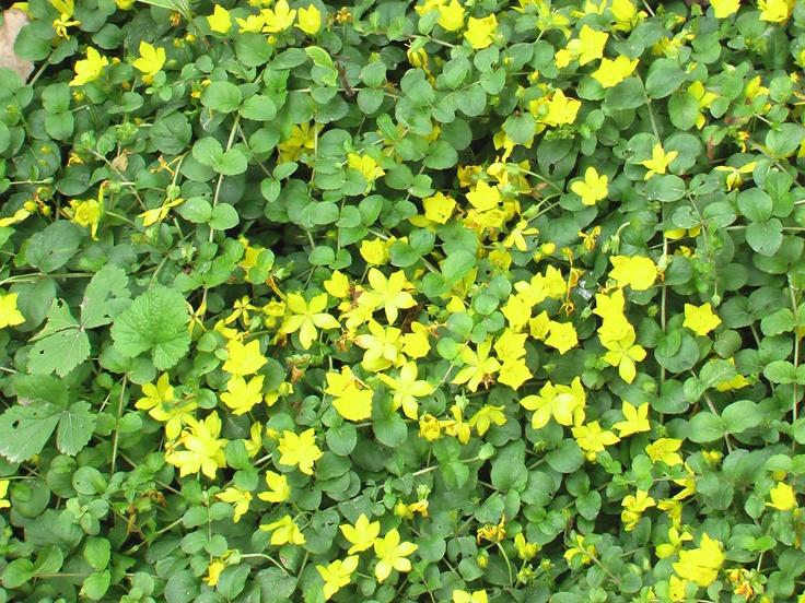 Вербейник монетный, или Вербейник монетчатый (лат. Lysimachia nummularia) — многолетнее травянистое растение с ползучими побегами. Вербейник монетный также известен под названием «луговой чай».  У нас растёт на тенистом каменистом участке и достаточно активно осваивает территорию.