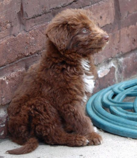 Woody the Poodle Mix -- Puppy Breed: Border Collie / Poodle                                                                                                                                                                                 More