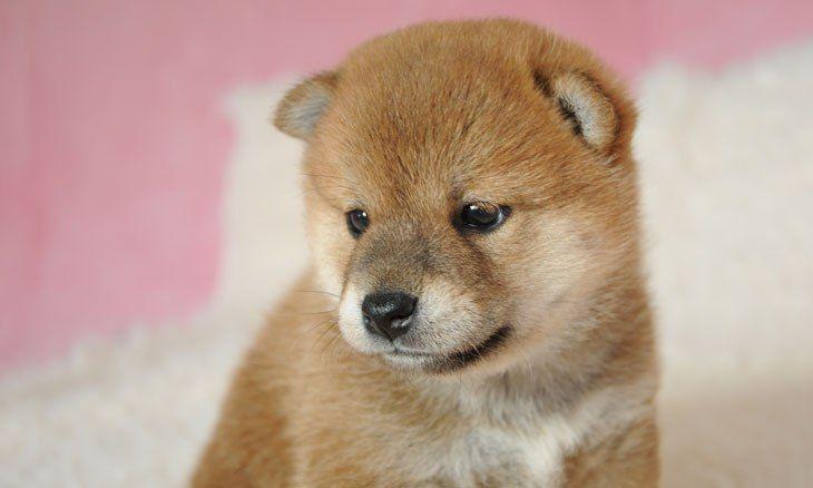 厳選 超かわいい柴犬の子犬ちゃんの画像20選 U Ful 柴犬 子犬 子犬 柴犬