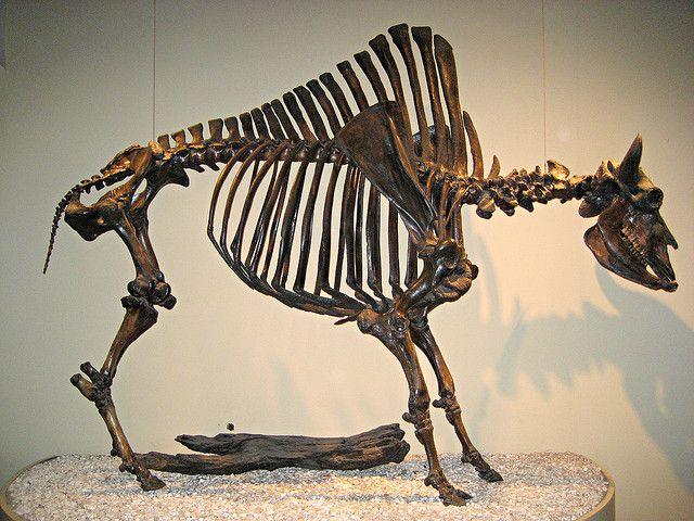 Antique Bison Skeleton by pr0digie, via Flickr