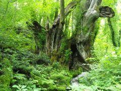 兵庫県香美町にあるたじま高原植物園は神戸から車で時間ちょっとで行ける癒しスポット(ˊᗜˋ)و まるでジブリの世界みたいな森が広がっていて思わず深呼吸したくなります 県の天然記念物の大カツラは圧巻ですね ここから湧く千年水で淹れるコーヒーもとっても美味しいですよ() tags[兵庫県]