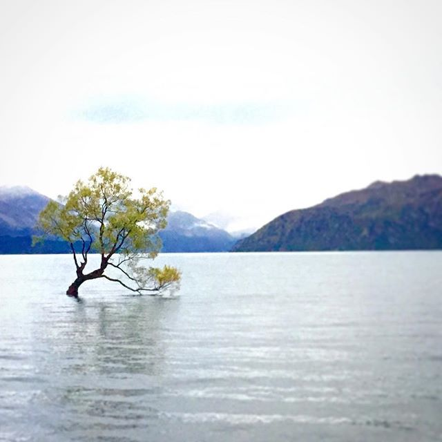 The most photographed tree in the world? The Wanaka Lake is certainly the most photographed in Nee Zealand. Not great weather when I was there, but I did manage to grab a few decent images. #nz #newzealand #wanaka #wanakatree #lakewanakatree #travel #travelphotography #johnecker #travel #girlswhotravel #travelphotography #pantheonphotography
