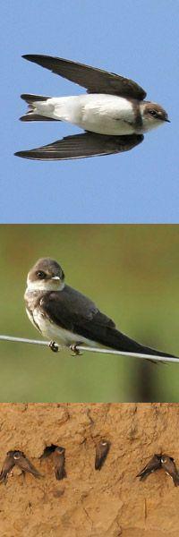 zwaluwen.info | De Oeverzwaluw, Riparia riparia