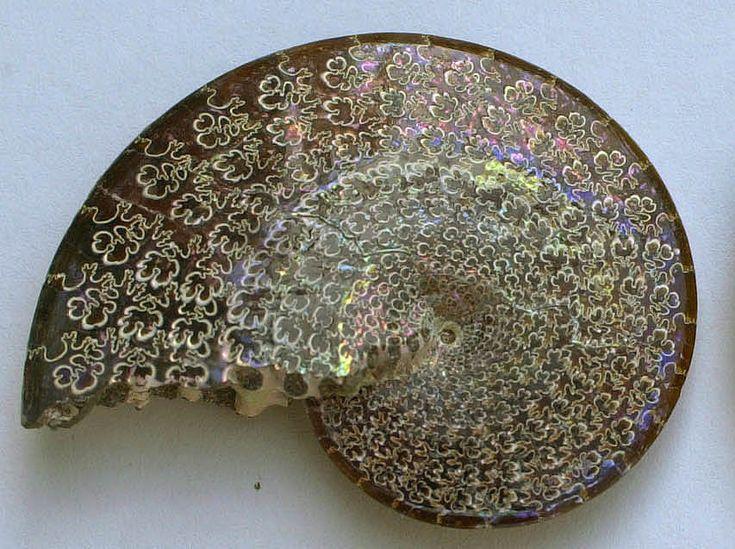 ammonite fossil, example of a fibonacci sequence.