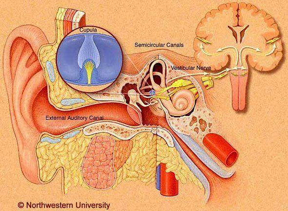 vestibular system   How does the Vestibular System work?