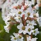 (P12) Bergenia 'Bressingham White' elephant's ears Position: full sun or partial shade Soil: any soil Rate of growth: average to fast Flowering period: March to April Hardiness: fully hardy  Commonly known as elephant's ears, Bergenias are low maintenance, evergreen, will grow in sun or shade and tolerate a wide range of soils, including dry soils and clay. H: 45cm S: 60cm