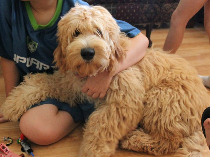 Goldendoodle Sarasota, Goldendoodles florida, Medium goldendoodle
