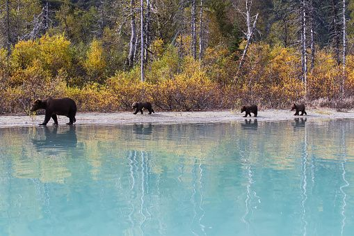 Sow Grizzly and three cubs walking along the shore of Crescent Lake, Lake Clark National Park, Southcentral Alaska, Autumn