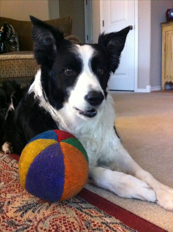 Like a true Border Collie, my Bailey loved playing ball or frisbee. I've never known a dog so intense and that's why I fell in love with Borders. I miss my girl...