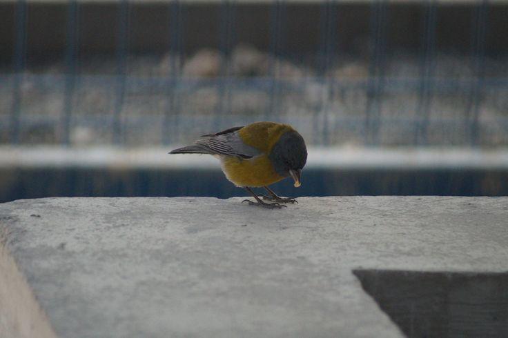 ave llamada Cometocino
